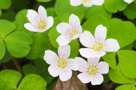 Oxalis acetosella (Woon sorrel) flowers, close up shot