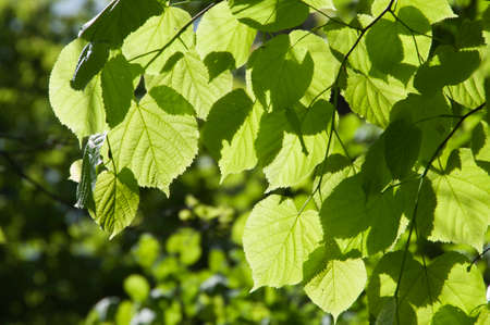 tilia cordata: Green leaves in a clear sunlight close up