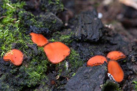 Scutellinia sp. fungus, close up shot, local focus Stock Photo