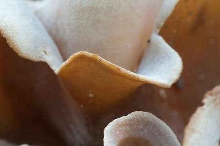 Peziza repanda ascomycete fungus, close up shot, local focus Stock Photo