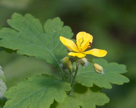Celandine (Chelidonium majus) flower, closeup shot Stock Photo