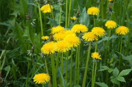 Dandelion flowers in a grass close up shot