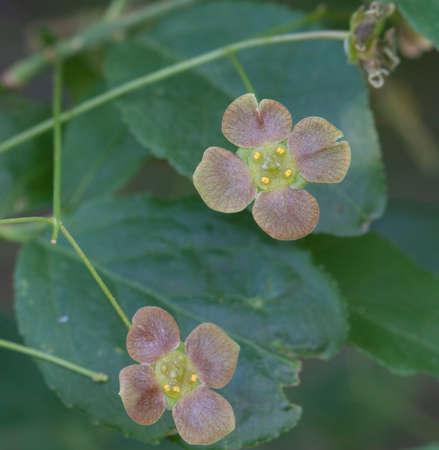 Euonymus verrucosus flowers, macro shot, local focus
