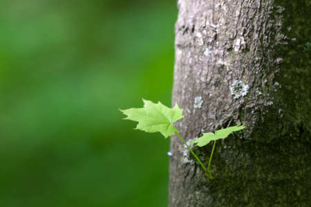 Small sprout on maple trunk, close up shot