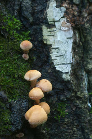 Mushrooms on an old stump close up