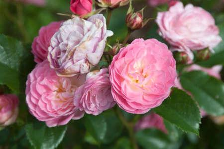lavender coloured: Rose flowers, close up shot, local focus