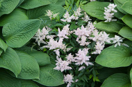 hosta and astilbe plants in a decorative formal garden