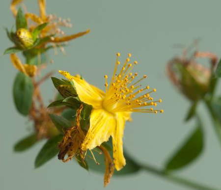 St Johns wort (Hypericum perforatum) flower, close up
