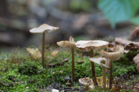 Mycena galericulata mushrooms on an old stump, closeup Stock Photo