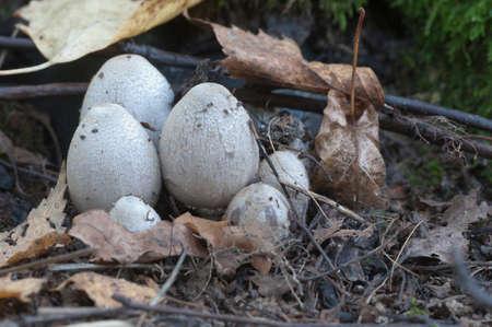 Coprinus atramentarius mushrooms in autumn, close up Stock Photo