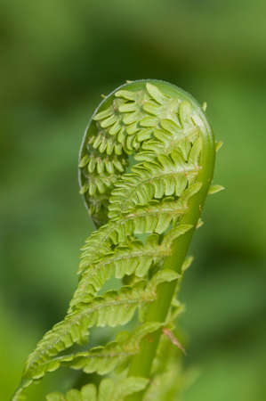 Closeup curled fern frond in spring, local focus