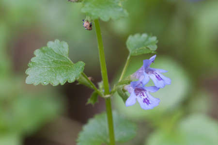 Glechoma hederacea flowers, close up shot, local focus