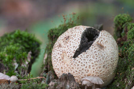 Common earthball mushroom, close up shot, local focus