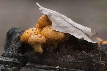 Pholiota aurivella mushroom on an old stump