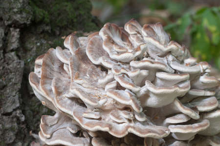 Grifola frondosa, edible polyporus mushroom whide khown in Far East and North America.