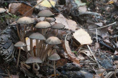 Coprinus micaceus mushroom near the tree, close up