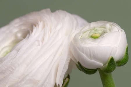 Ranunculus flower over green background, closeup Archivio Fotografico