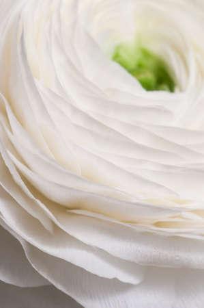 Ranunculus flower over green background, closeup Imagens