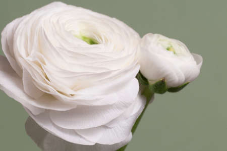 Ranunculus flower over green background, closeup Imagens
