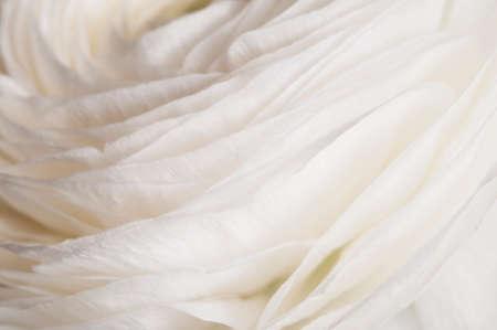 Ranunculus flower over green background, closeup Imagens - 121463583
