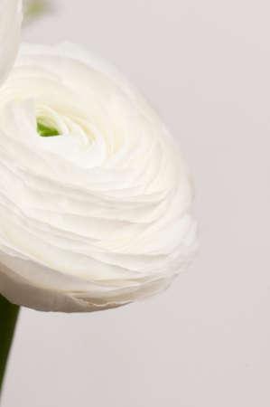 Ranunculus flower over green background, closeup Imagens - 121463724