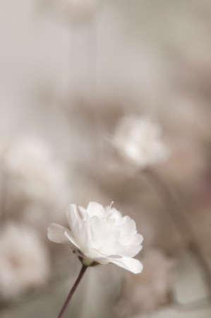 Common gypsophila flower, close up shot, local focus Imagens - 121463817