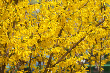 Forsythia flowers close up shot local focus Imagens