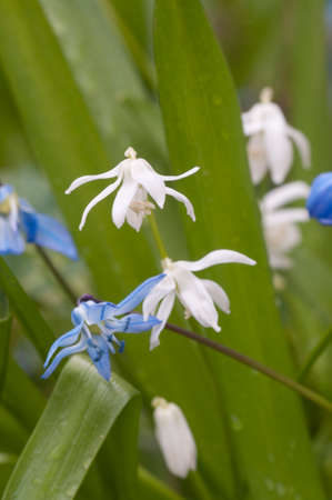 Siberian squill (Scilla siberica) flowers, close up shot, local focus