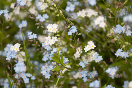 Forget-me-not blue flowers, close up shot, local focus Imagens - 124838047