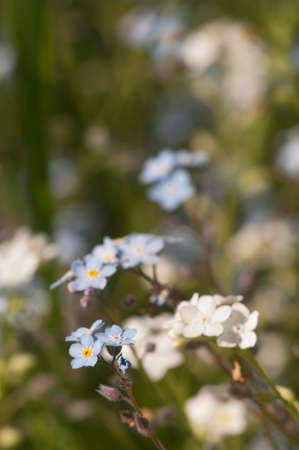 Forget-me-not blue flowers, close up shot, local focus