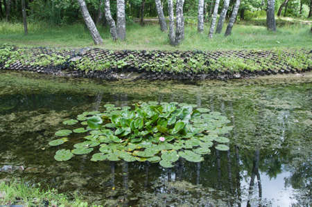Water lilies (Nymphea) on a pond in city park Imagens