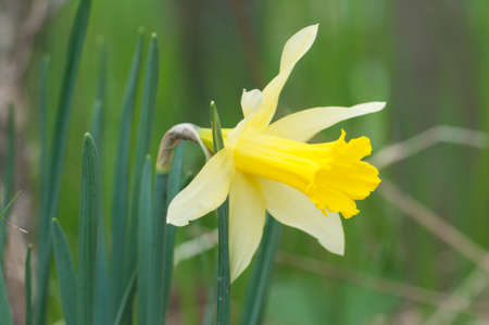 Narcissus flower in spring, close up shot
