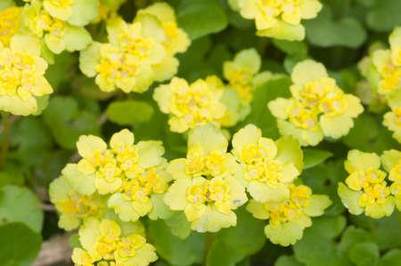 Golden saxifrage (Chrysosplenium alternifolium) flowers, close up shot