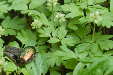 Adoxa moschatellina flowers in spring, close up shot Imagens - 129356271