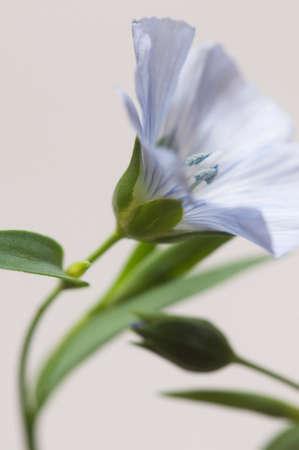 Flax (Linum usitatissimum) flowers over light background, close up shot, local focus Imagens - 129356150