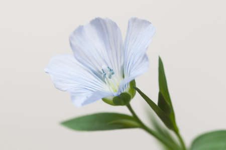 Flax (Linum usitatissimum) flowers over light background, close up shot, local focus Imagens - 129356023