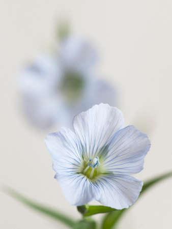 Flax (Linum usitatissimum) flowers over light background, close up shot, local focus Imagens - 129355812