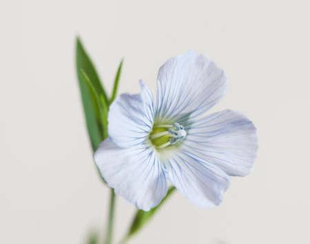 Flax (Linum usitatissimum) flowers over light background, close up shot, local focus Imagens - 129355830