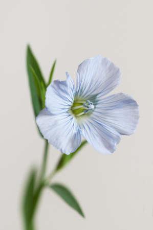 Flax (Linum usitatissimum) flowers over light background, close up shot, local focus Imagens - 129355832