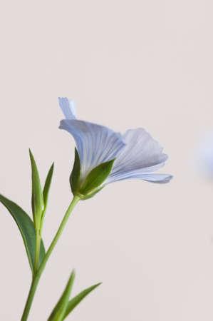 Flax (Linum usitatissimum) flowers over light background, close up shot, local focus Imagens - 129355838