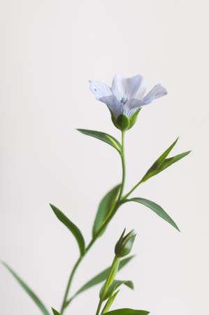 Flax (Linum usitatissimum) flowers over light background, close up shot, local focus Imagens - 129355860