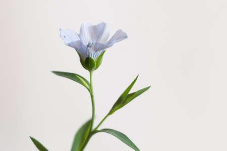 Flax (Linum usitatissimum) flowers over light background, close up shot, local focus Imagens - 129355863