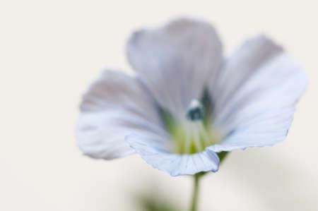 Flax (Linum usitatissimum) flowers over light background, close up shot, local focus Imagens - 129355874