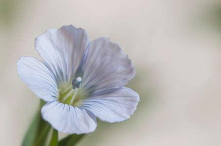 Flax (Linum usitatissimum) flowers over light background, close up shot, local focus Imagens - 129355619