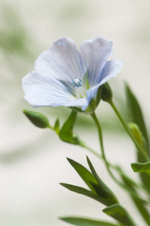 Flax (Linum usitatissimum) flowers over light background, close up shot, local focus Imagens - 129355636