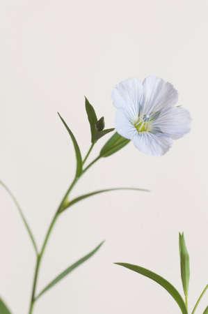 Flax (Linum usitatissimum) flowers over light background, close up shot, local focus Imagens - 129355622