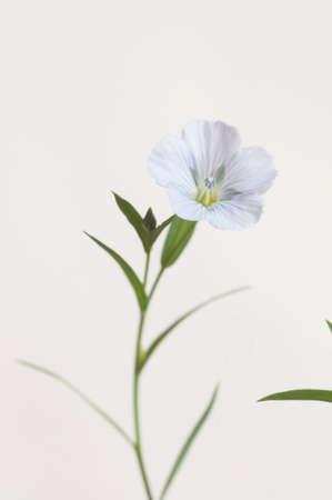 Flax (Linum usitatissimum) flowers over light background, close up shot, local focus Imagens - 129355647