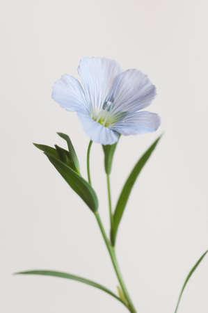 Flax (Linum usitatissimum) flowers over light background, close up shot, local focus Imagens - 129355536