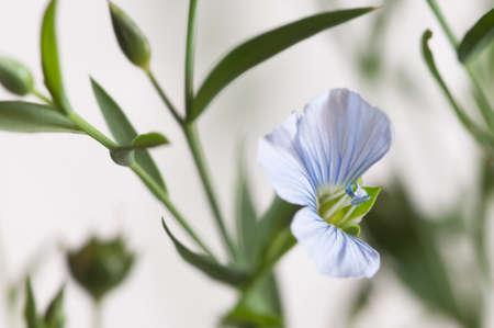Flax (Linum usitatissimum) flowers over light background, close up shot, local focus Imagens - 129355541