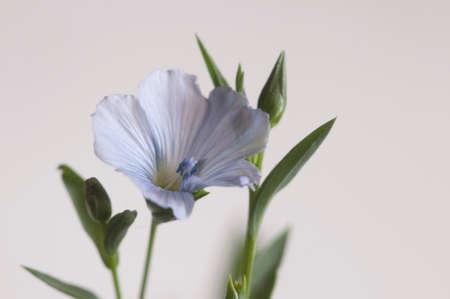 Flax (Linum usitatissimum) flowers over light background, close up shot, local focus Imagens - 129355547